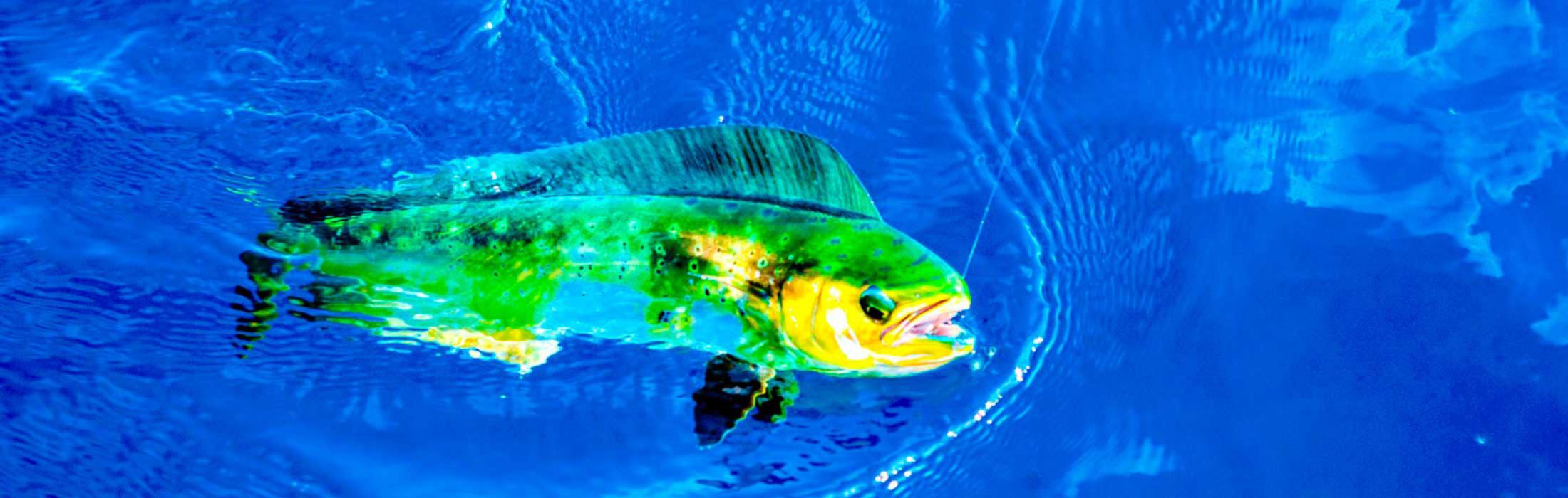 dolphinefish